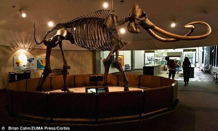 图中骨骼结构是哥伦比亚猛犸,科学家认为它们于150万年前迁徙至北美洲,而多毛猛犸的迁徙之旅发生于40万年前。