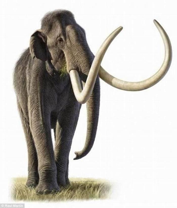 图中是非洲大象,被认为是猛犸的后代物种,当生活环境出现重叠时,它们会与其它大象进行交配。