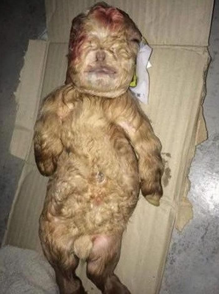马来西亚母羊诞下人形怪胎小羊 出生后夭折