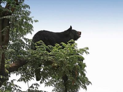 亚洲黑熊帮助日本樱花帮忙传播种子