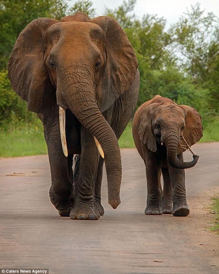 南非克鲁格国家公园捕获最壮观的大象巨乳镜头