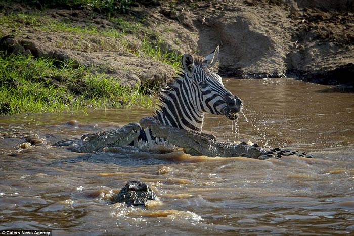 非洲肯尼亚勇猛斑马横过马拉河 张嘴噬咬击退鳄鱼