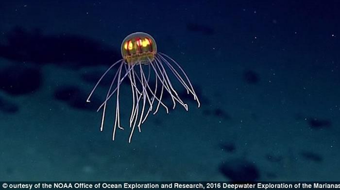研究人员在马里亚纳海沟进行勘测活动,发现一种类似球状的水母新物种,此外还发现了六鳃鲨鱼和各种鱼类。