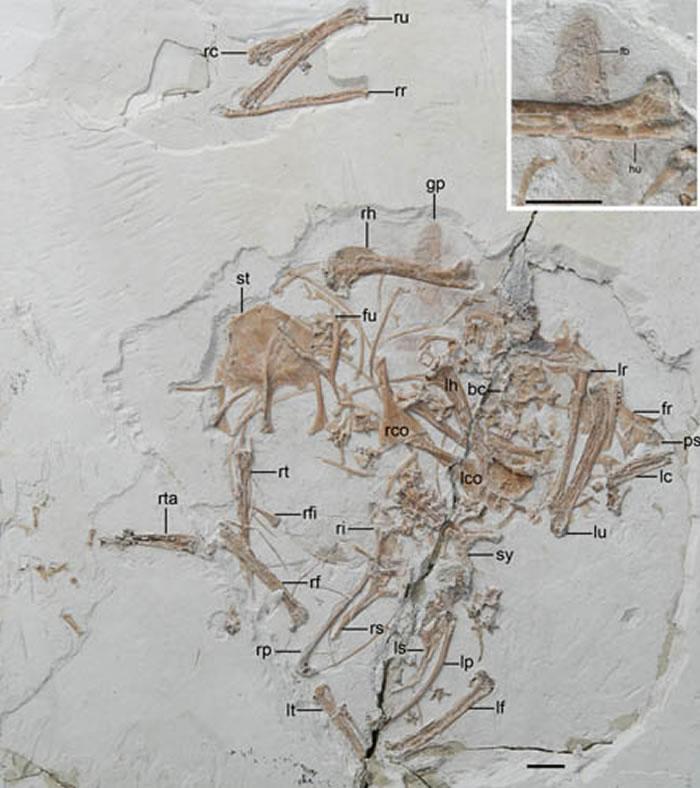 保存有最古老的鸟类食团的反鸟类(王敏供图)