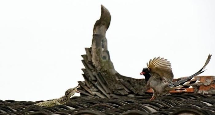 见红嘴蓝鹊降落在不远处,蛇立即缩成一团,昂首吐信,做好防守姿势。