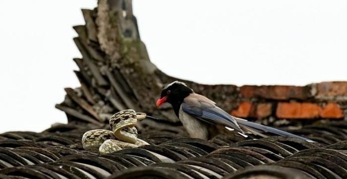 蛇鸟大战一触即发。