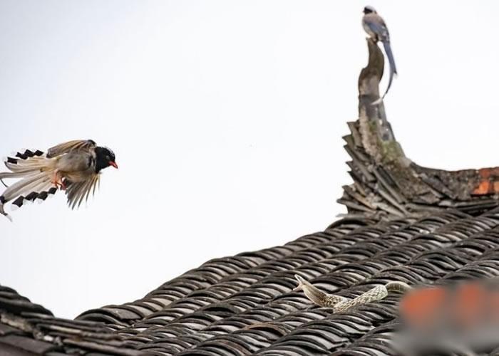 两只鸟相互配合,玩起车轮战术;其中一只鸟的模样甚为凶狠。