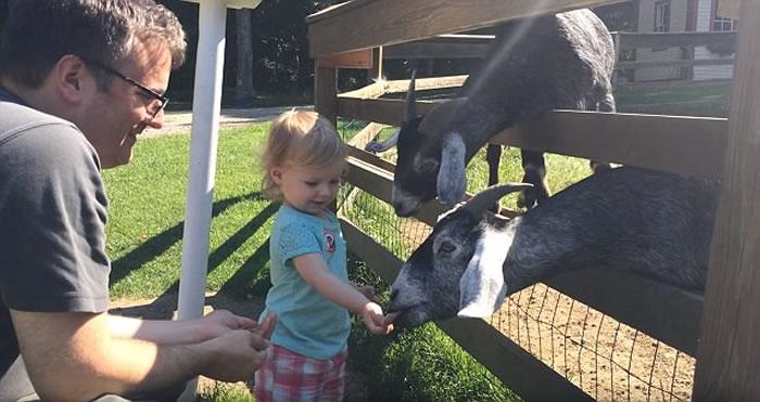 女童随家人在农场内学习喂山羊 山羊等得不耐烦咬女童头发