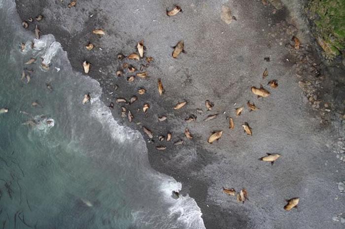 阿拉斯加阿图岛兰格尔角上,一台APH-22六轴无人机从60公尺的高空中捕捉北海狮群栖。由于有些地区天候恶劣,一般飞机无法进行调查,因此美国海洋与大气总署渔业局就