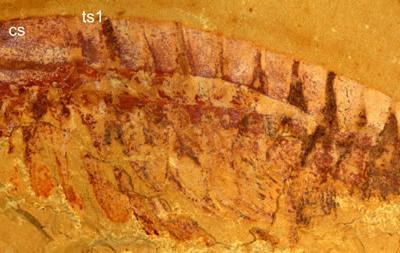 侯先光研究团队发现呈3维立体保存的最早的无节节肢动物幼虫