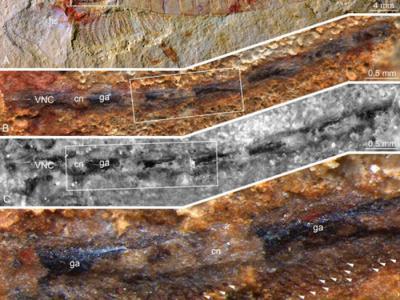寒武纪节肢动物神经系统研究成果:抚仙湖虫腹神经索及泛节肢动物神经系统早期进化