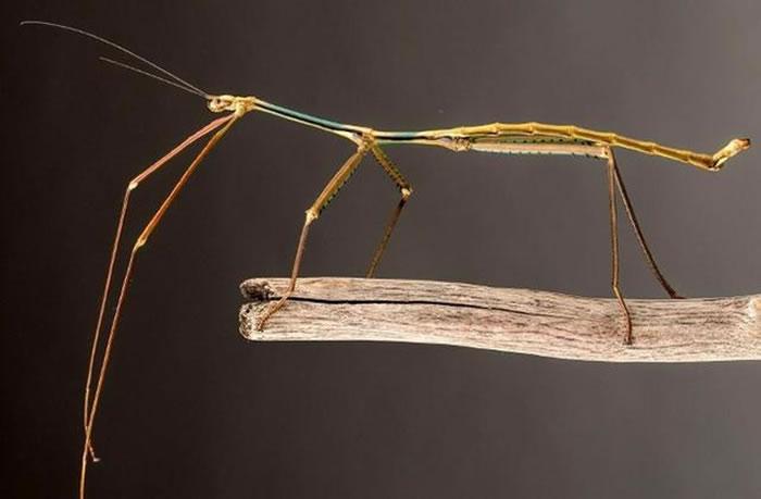 如图所示,这是中国广西省境内发现的一种竹节虫,它的长度为62.4厘米,被评定为世界上最长的昆虫物种。