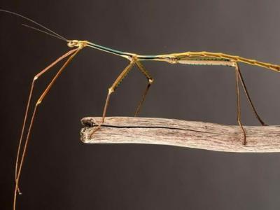 中国广西柳州发现的竹节虫Phryganistria chinensis Zhao被评定为世界上最长昆虫