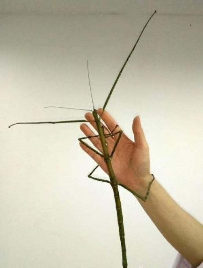 巨型竹节虫骤眼看上去与普通树枝无异。