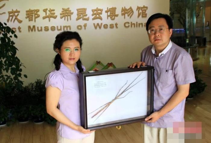馆方已将巨型竹节虫制成标本。