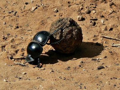 最新研究显示蜣螂或曾食用恐龙粪便
