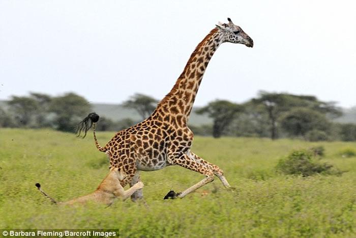 长腿的优势 坦桑尼亚塞伦盖提国家公园长颈鹿拔足逃离狮子魔爪