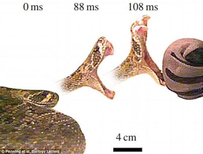 蛇类发起攻击的速度相当惊人 眨眼过程就能执行4次攻击