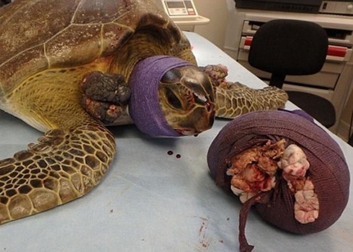 兽医成功为Chica切除肿瘤。