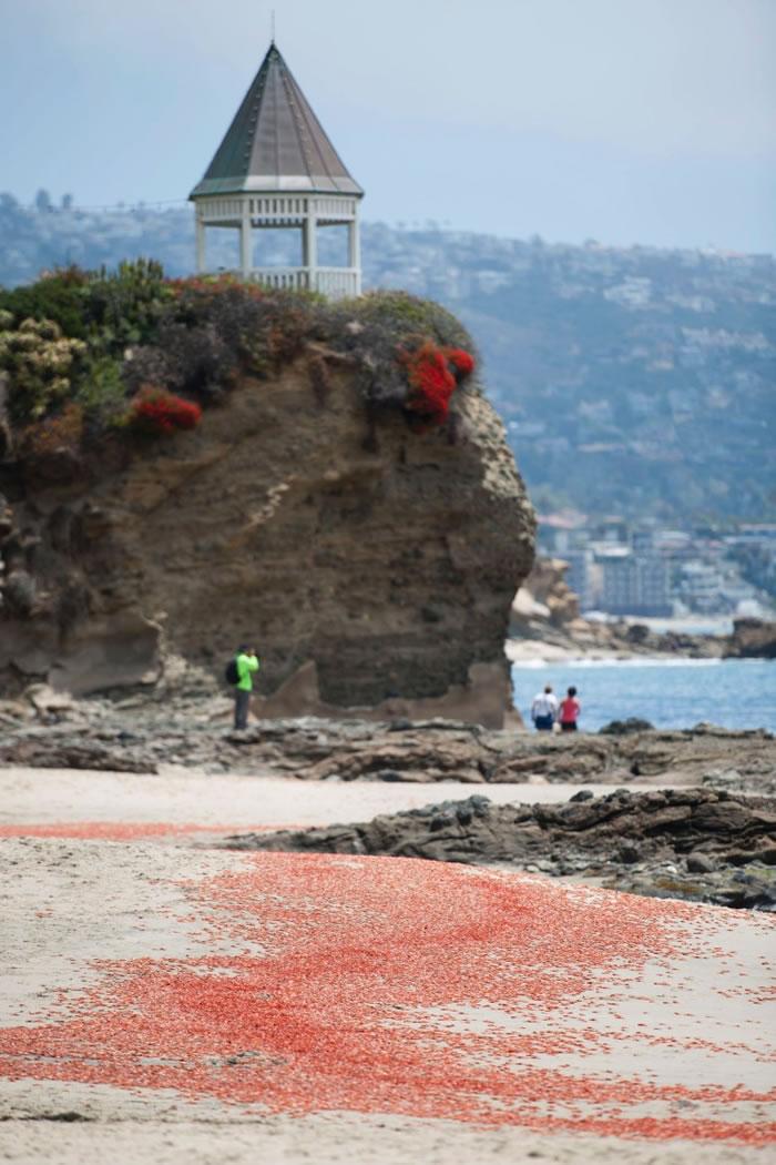厄尔尼诺影响洋流 数以十万计小红蟹冲上美国加州岸滩
