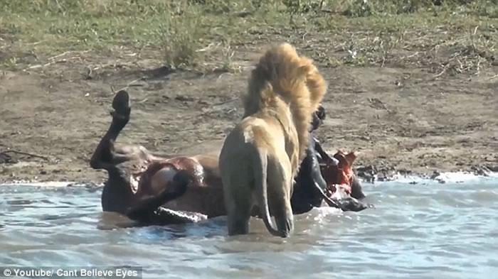 南非克鲁格国家公园狮子杀死怀孕水牛后从肚中取出还未出生的小牛
