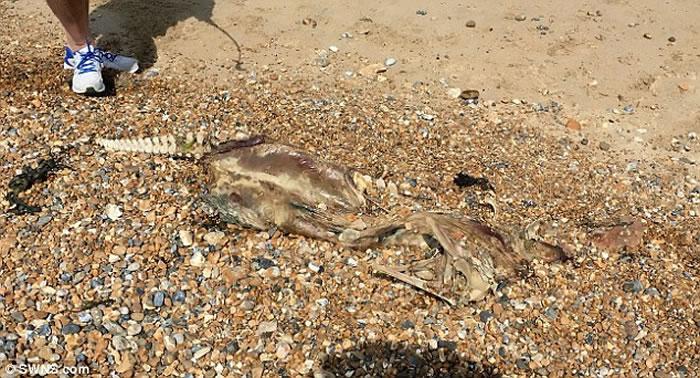 英国斯特惠特布尔海滩发现神秘兽骨 拥有类似人类的脊柱和鳄鱼的身体