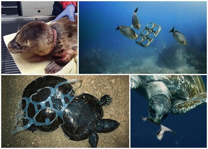 环保套环可被海洋生物吃下,避免它们遭胶环缠身而受伤。