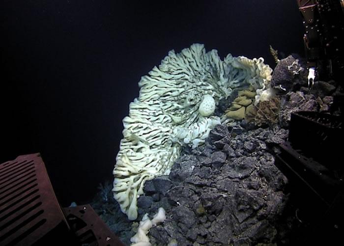 美国夏威夷2100米深海惊现全球最大海绵 体积