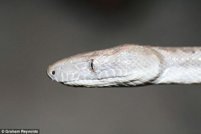 """巴哈马群岛发现无毒蟒蛇新物种""""康塞普申岛银蟒"""""""