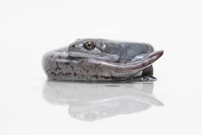 母蝾螈会从其他种类的公蝾螈身上窃取DNA。 PHOTOGRAPH BY ZAC HERR