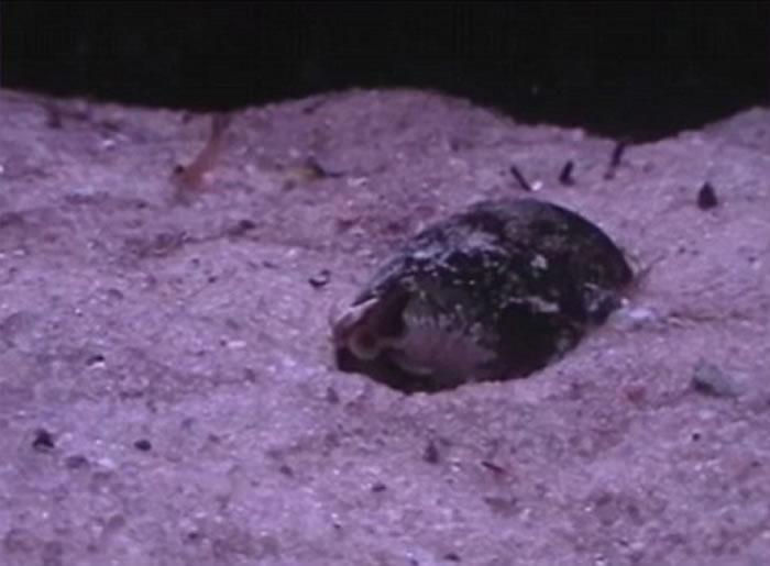 地纹芋螺 conus geographus 以迅雷不及掩耳的速度张开大口吞下一条鱼