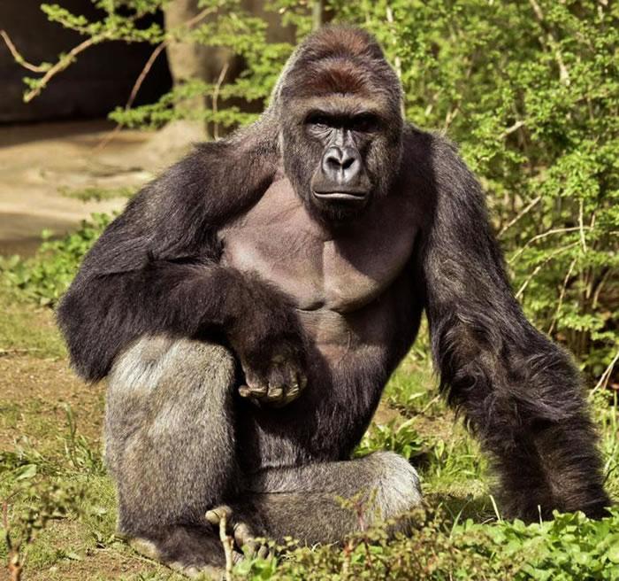 专家认为辛辛那提动物园大猩猩可能只是在跟男童玩 但选择开枪是正确的决定