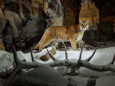 美国黄石公园游客人数逼近上限 肉食性动物卷土重来