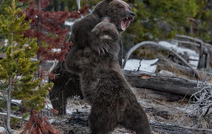 美国黄石公园游客人数逼近上限,肉食性动物卷土重来
