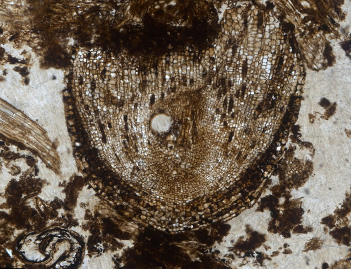 3.2亿年前化石中发现已知最古老的植物根尖干细胞群
