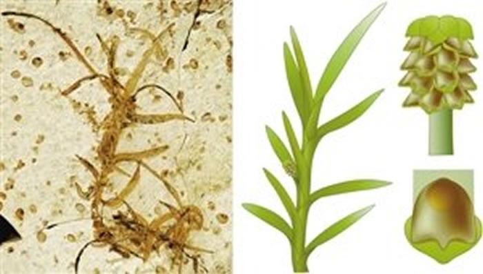 内蒙古道虎沟中侏罗纪发现开花植物化石新属种——雨含果