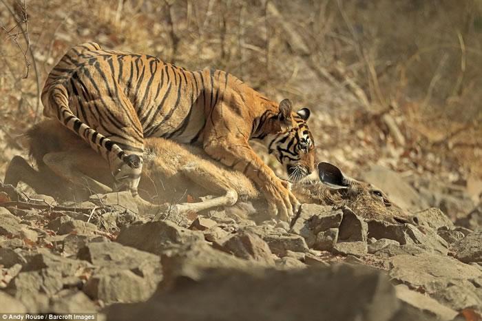 英国摄影师苦候660小时终于成功捕捉印度老虎捕猎一头鹿的过程