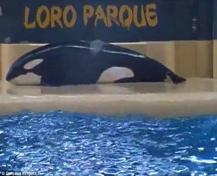 西班牙Loro Parque海洋公园再传杀人鲸自残事件