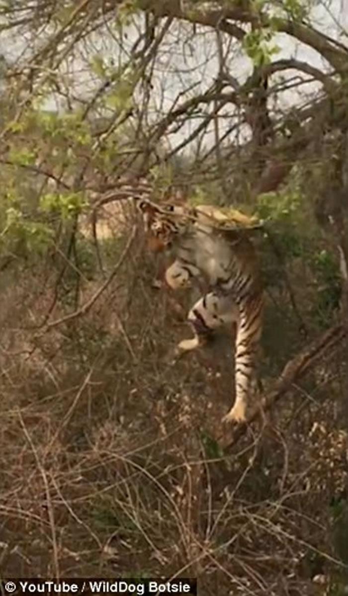 印度老虎爬树捉猴母子失手 跌到地面装成若无其事