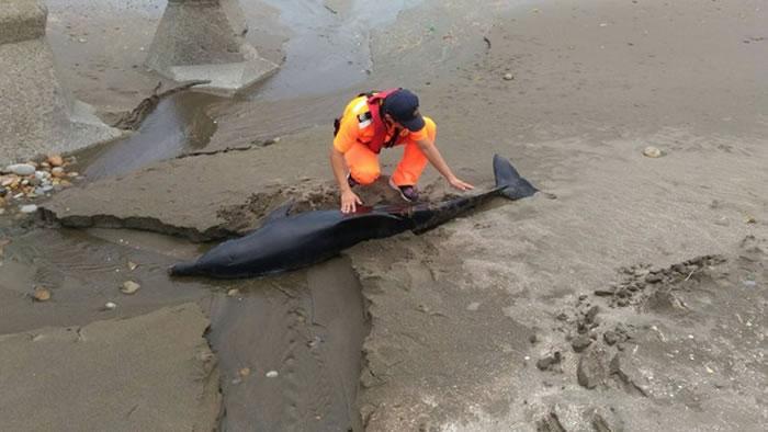 瓶鼻海豚疑被鲨鱼攻击搁浅台湾新屋沙滩死亡