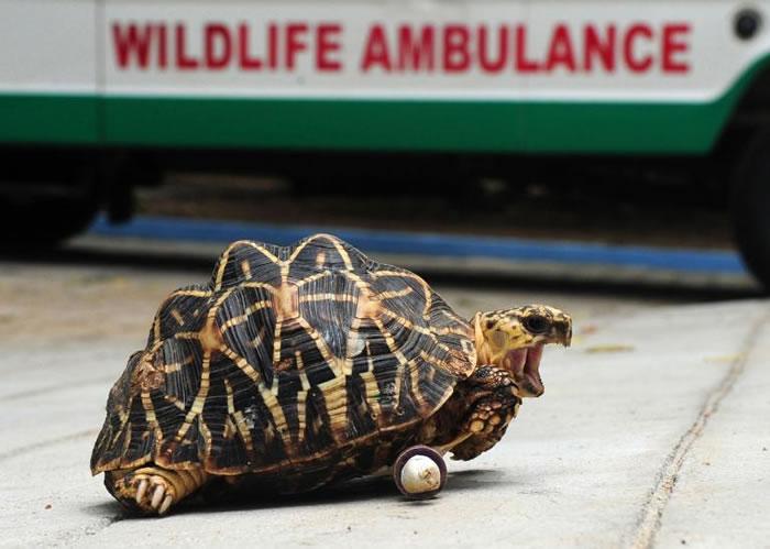 海龟和陆龟常会遇到腿部受伤的状况。PHOTOGRAPH BY ARUM SANKAR, AFP, GETTY IMAGES