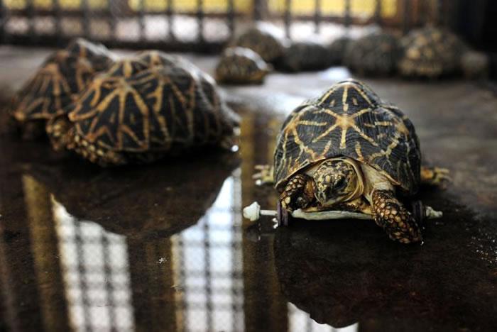 该动物园养了14只印度星龟。PHOTOGRAPH BY ARUN SANKAR, AFP, GETTY IMAGE
