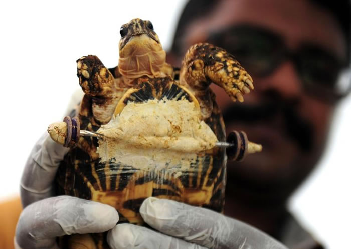 兽医展示装上义肢轮组的印度星龟。PHOTOGRAPH BY ARUN SANKAR, AFP, GETTY IMAGES