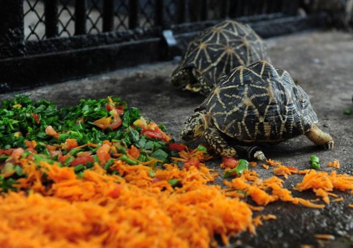 如今这只乌龟不但重新获得觅食的行动力,更靠着这副双轮成为极速传说,其他同伴们都看不到它的车尾灯了。 PHOTOGRAPH BY ARUN SANKAR, AFP