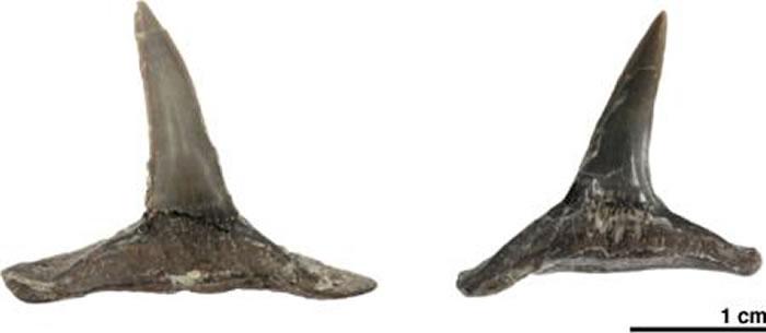 日本北海道距今8900万年前白垩纪地层中发现罕见灭绝鲨鱼牙齿化石
