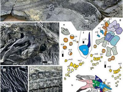 安徽早三叠世巢湖龙动物群发现同时代个体最大的海生爬行类——小头刚体龙