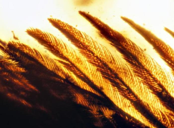 天使之翼标本_羽毛的色素带