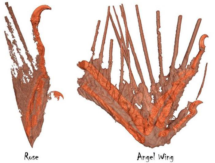 罗斯标本和天使之翼标本的CT重建图像
