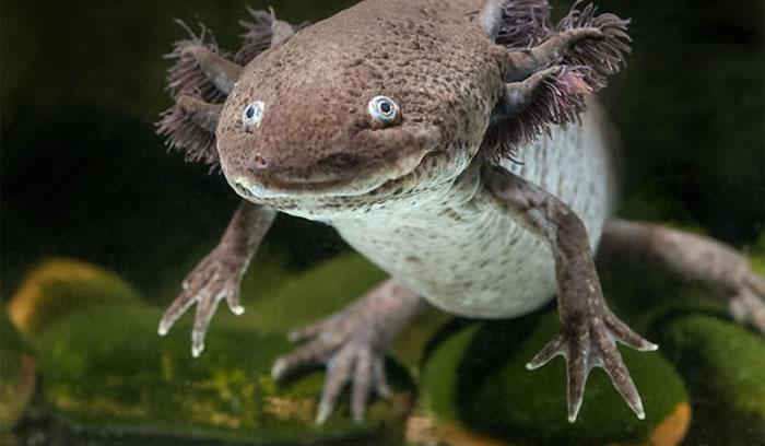 新研究展示蝾螈和斑马鱼如何实现断肢再生