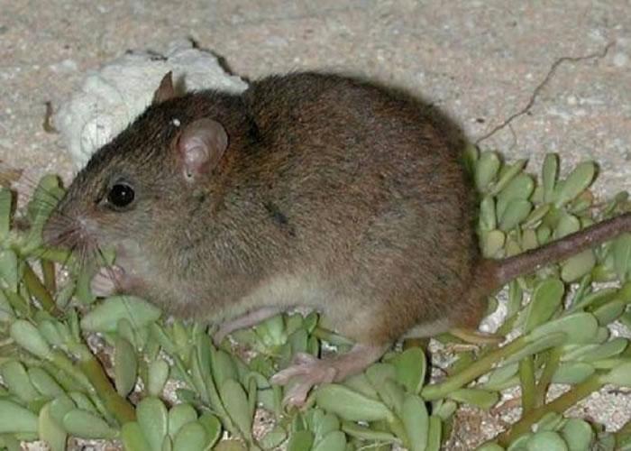 珊瑚裸尾鼠因气候变迁而绝种。  珊瑚裸尾鼠栖息在大堡礁附近一带。